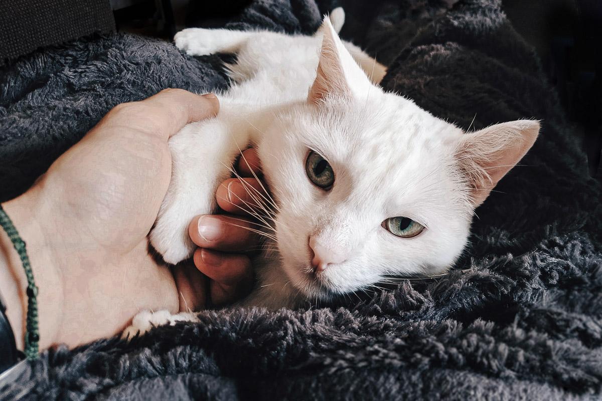 gatos y tricobezoares